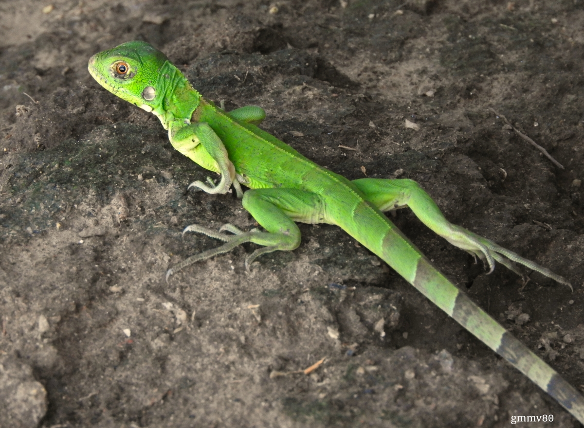 Optimized-Iguana iguana (juvenil) 3